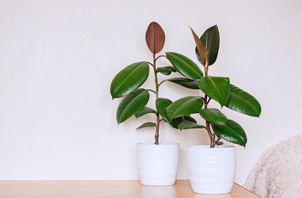 Ficus_Elastica.jpg