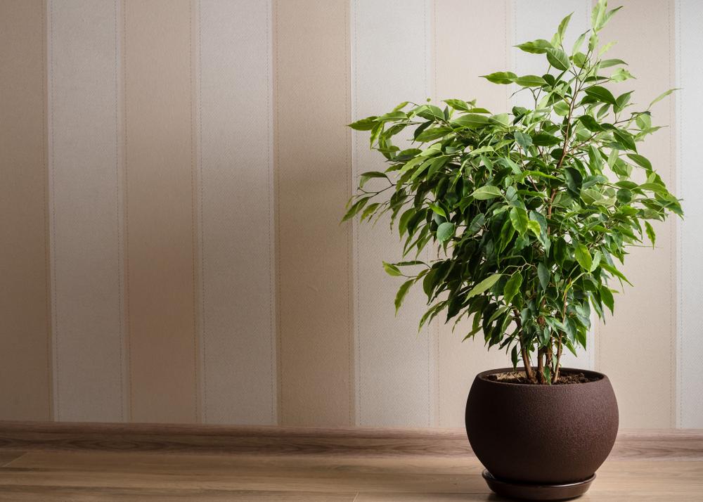 Ficus_benjamina.jpg