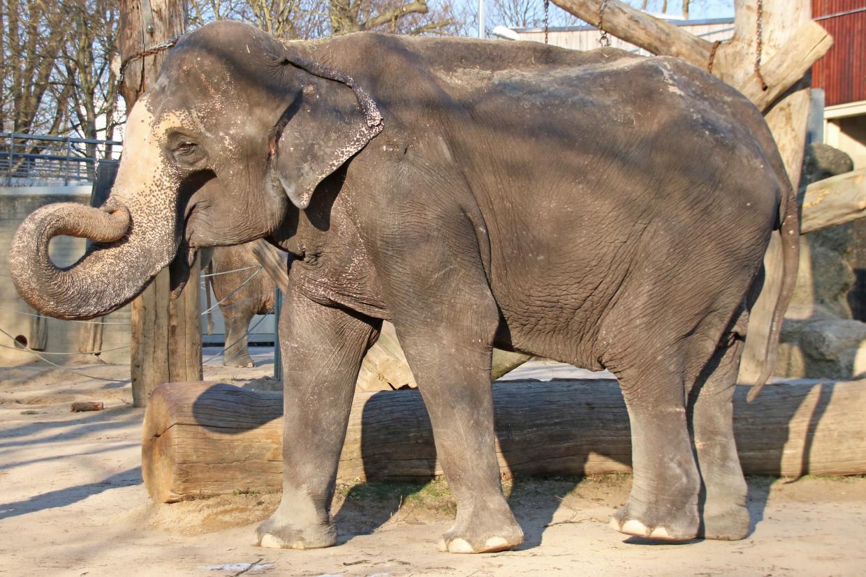 ältester Elefant